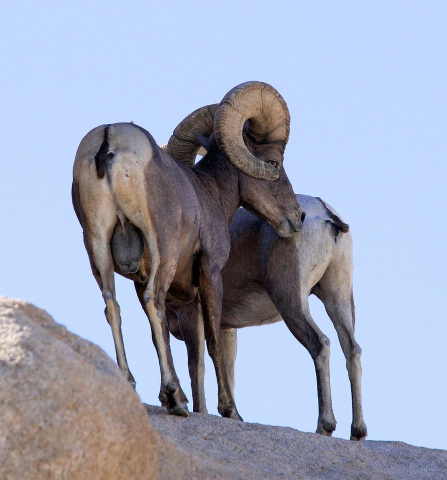 Ram checking estrus.