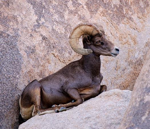 Desert Bighorns (Ovis canadensis nelsoni)