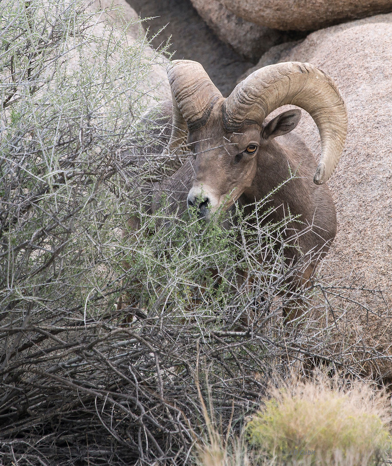 Ram browsing on flush of new growth after desert monsoons.