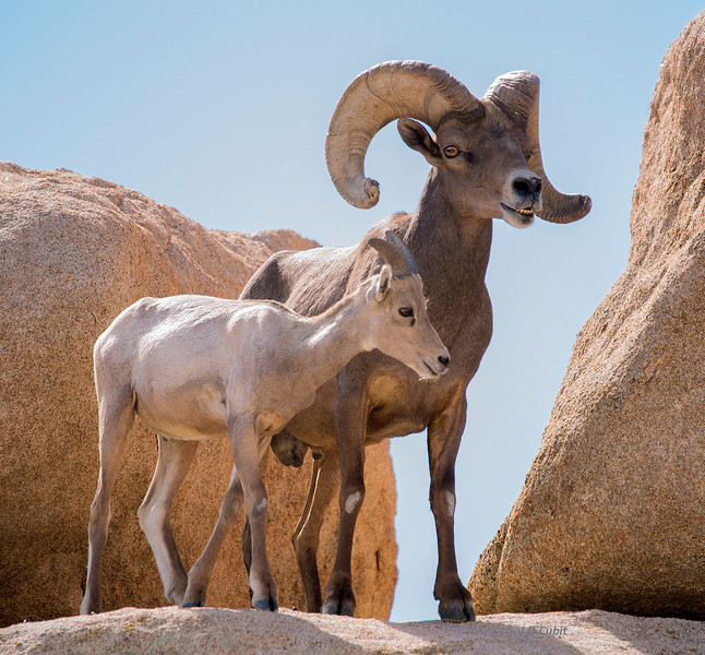 Dominant ram with juvenile.
