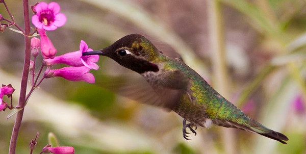 This colorful little hummingbird seemed to be having fun drinking flower nectar and buzzing me.