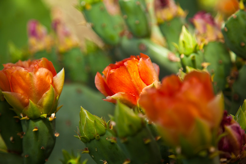 I could not get over the beauty and range of colors of the prickly pear cactus this year.