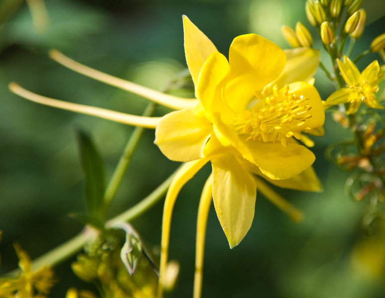 The columbine is the state flower of Colorado, but it looks right at home in the Desert Botanical Garden in Phoenix.