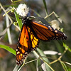 A female monarch butterfly enjoying the sunshine and a flower.  Her wings reminded me of a Tiffany glass light.