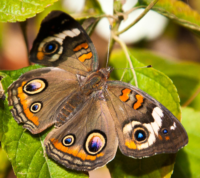 A colorful Buckeye, Junonia Coenia enjoying some sun.
