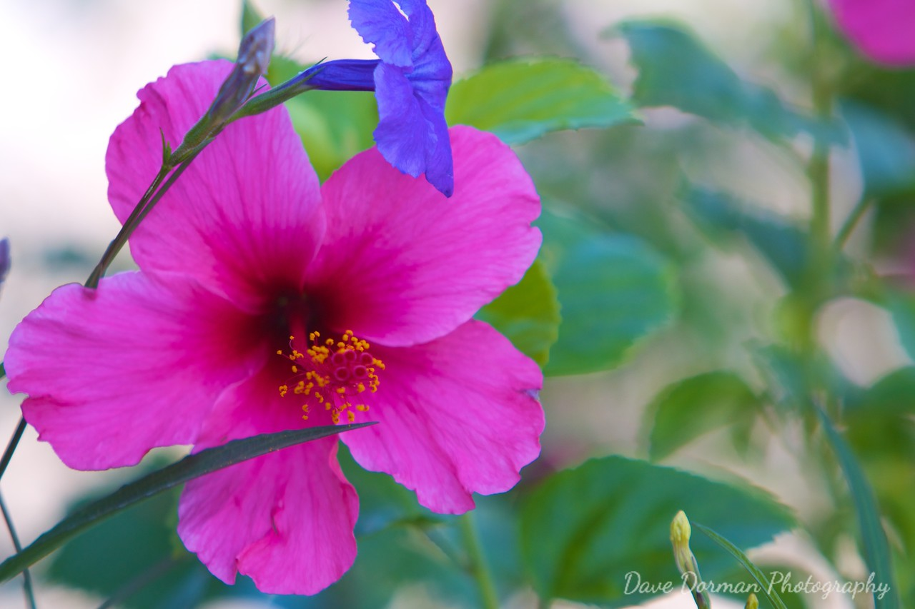 Hibiscus and Violet