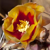 The very first prickly pear flower at Desert Botanical Garden, 2012.  Many more should follow shortly.