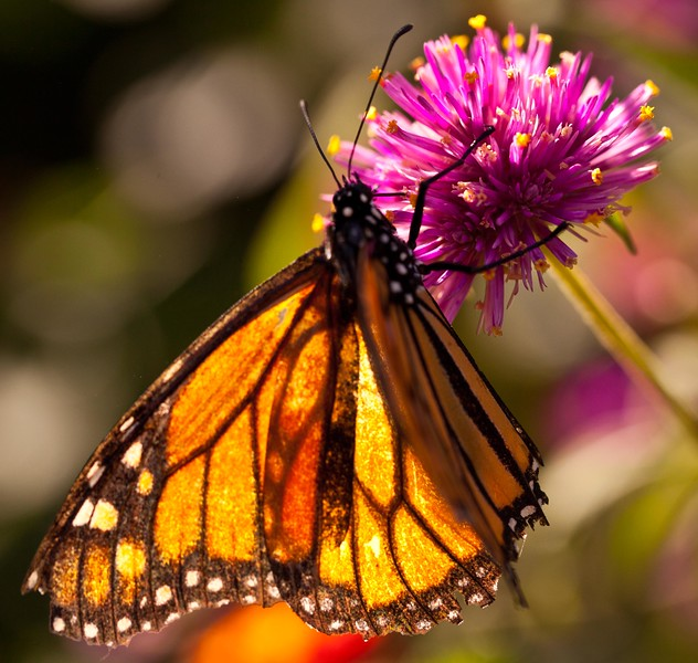 A female monarch butterfly.  I think I know where Tiffany got the idea for their glass.