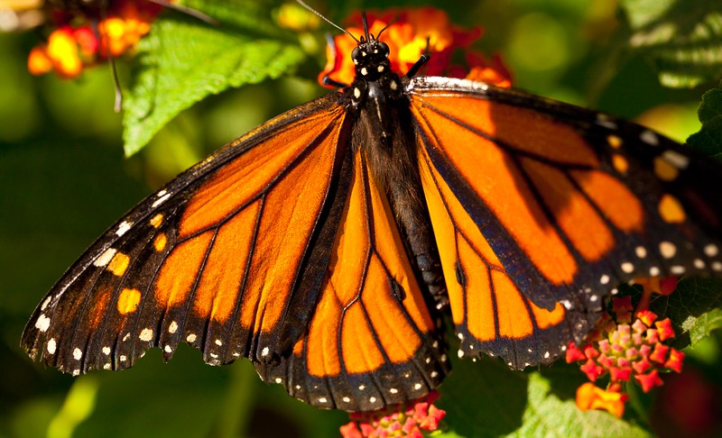 Male monarch butterfly enjoying a flower.