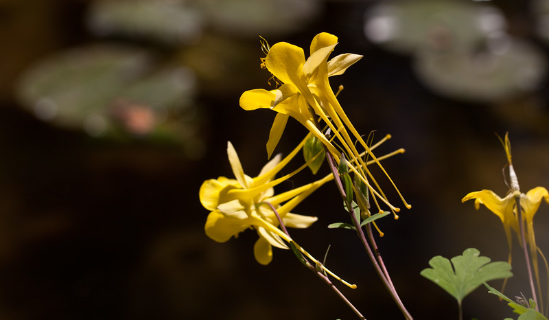 Bright yellow columbines against a background of lily pads