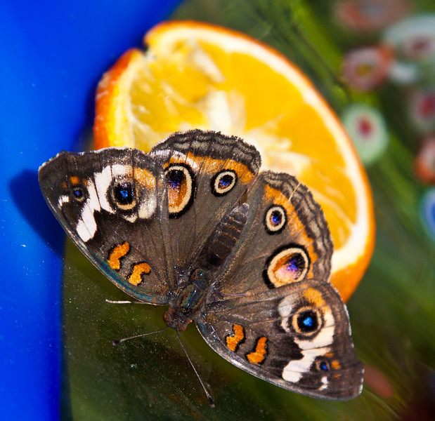 A Buckeye, Junonia Coenia butterfly enjoying his orange for lunch.