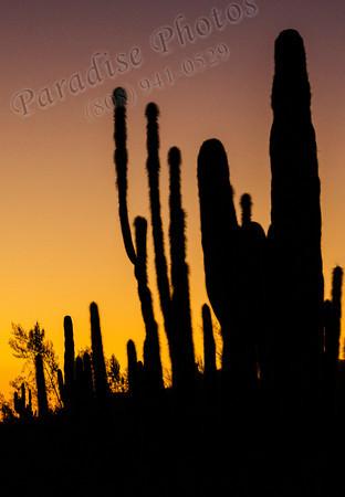 Cactus sillouette sunset 1112 9176