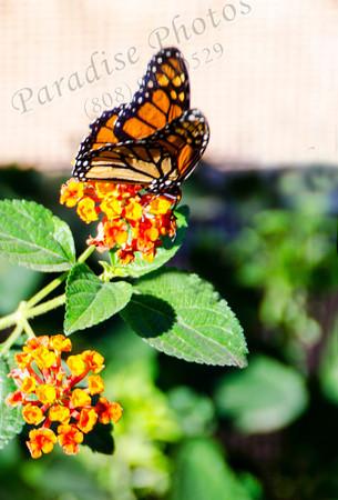 Butterfly orange  Bot Gard 8966