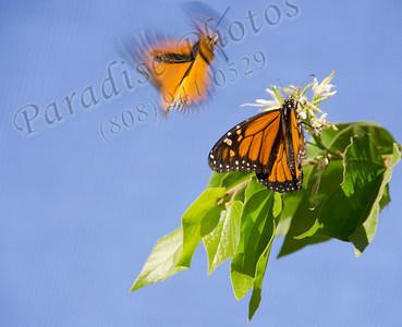 orange butterflies in flight BotG 1112 8986