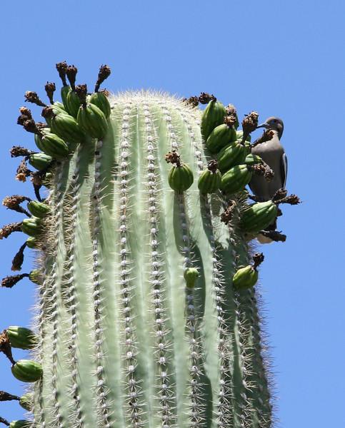 Dove in the cactus.