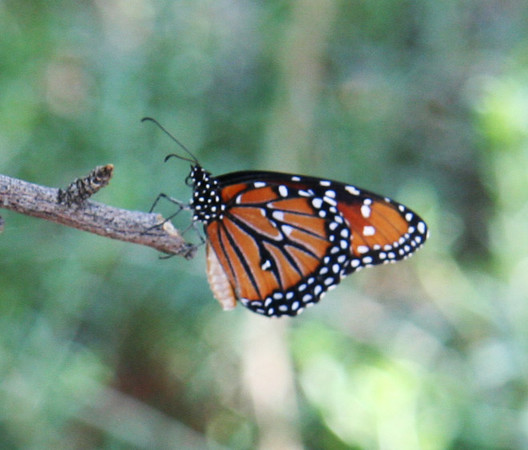 Monarch outside. The indoor butterfly exhibit was closed when we visited.