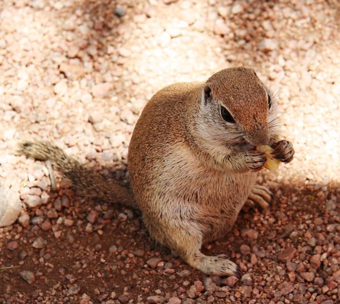 Ground squirrels love potato chips.