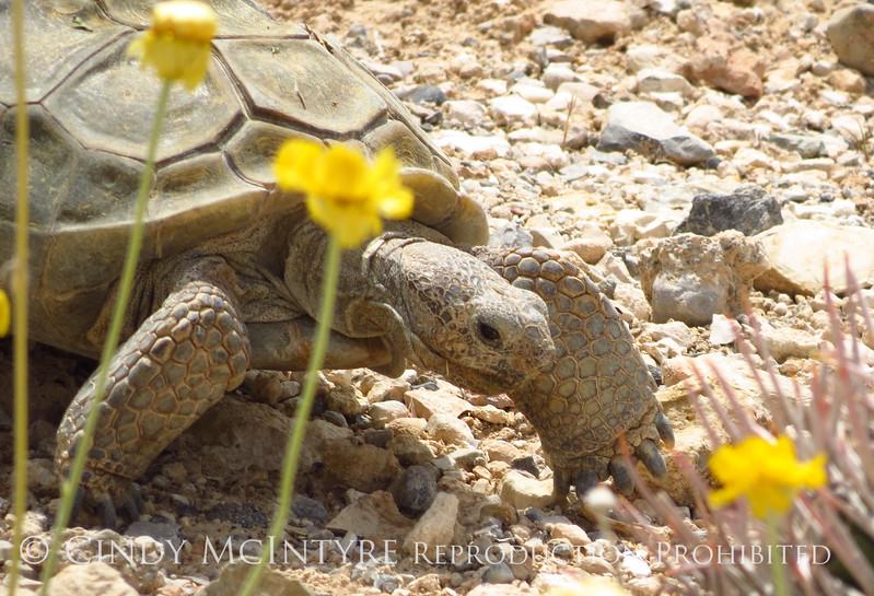 Desert Tortoise, Red Rock Canyon VC, NV (9)