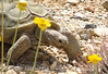 Desert Tortoise, Red Rock Canyon VC, NV (9)