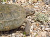 Desert Tortoise, Red Rock Canyon VC, NV (15)