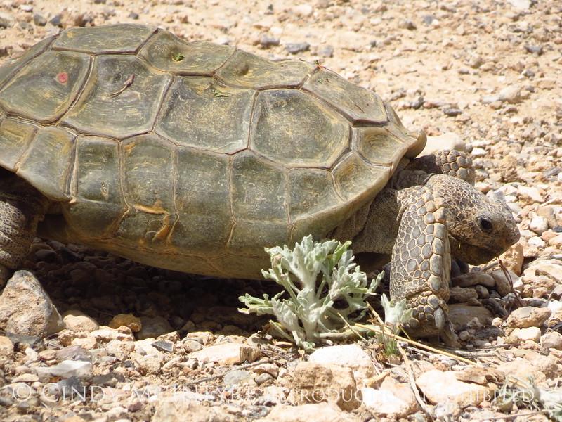 Desert Tortoise, Red Rock Canyon VC, NV (5)
