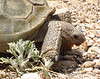 Desert Tortoise, Red Rock Canyon VC, NV (4)