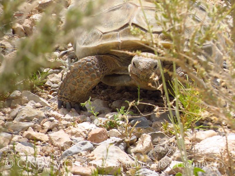 Desert Tortoise, Red Rock Canyon VC, NV (10)