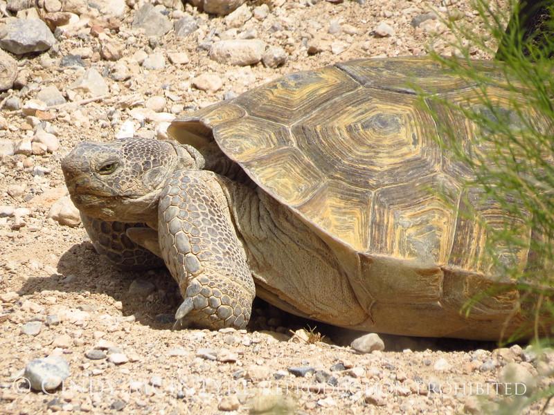 Desert Tortoise, Red Rock Canyon VC, NV (8)