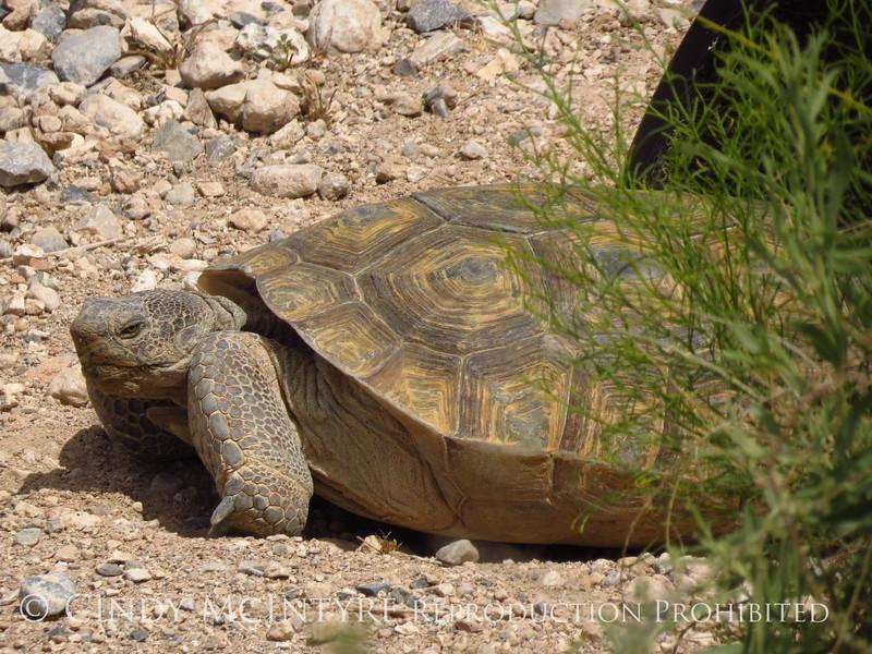 Desert Tortoise, Red Rock Canyon VC, NV (7)