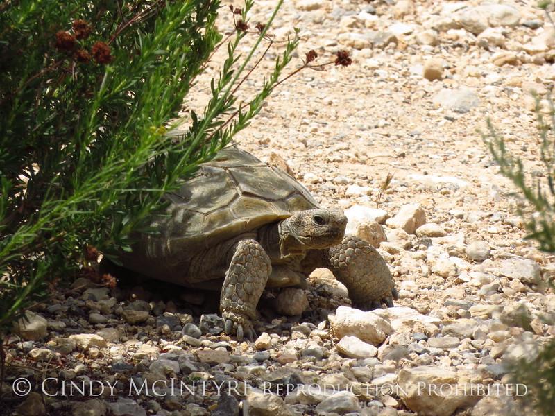 Desert Tortoise, Red Rock Canyon VC, NV (1)