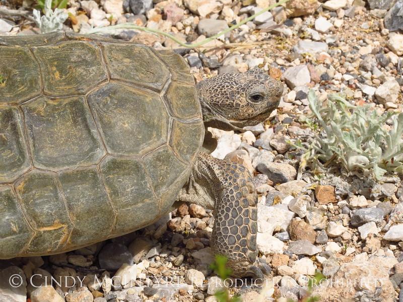 Desert Tortoise, Red Rock Canyon VC, NV (14)