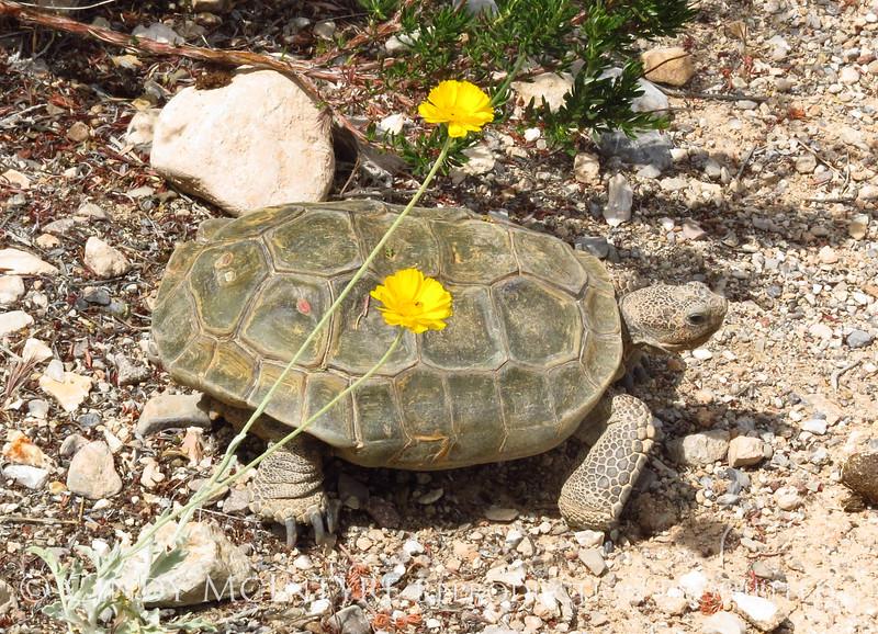 Desert Tortoise, Red Rock Canyon VC, NV (12)
