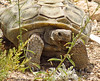 Desert Tortoise, Red Rock Canyon VC, NV (6)