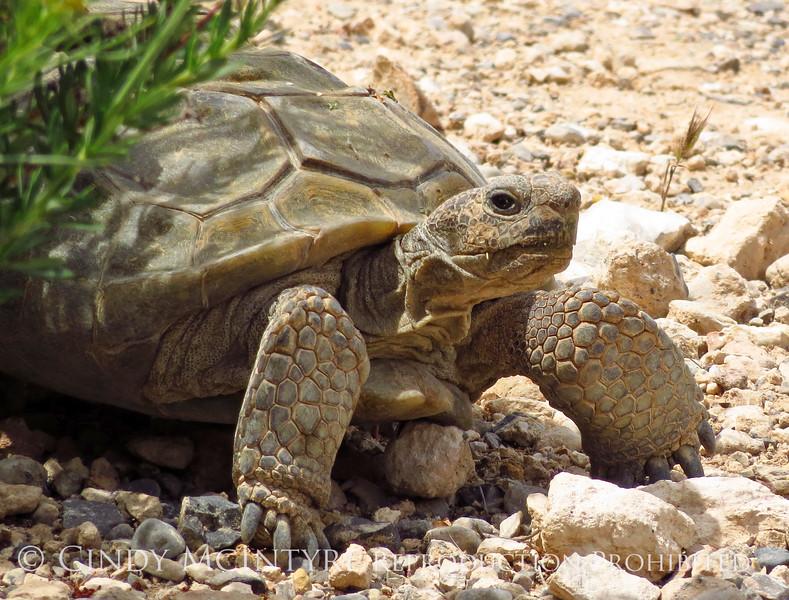 Desert Tortoise, Red Rock Canyon VC, NV (3)