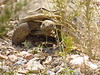 Desert Tortoise, Red Rock Canyon VC, NV (11)