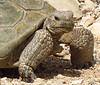 Desert Tortoise, Red Rock Canyon VC, NV (13)