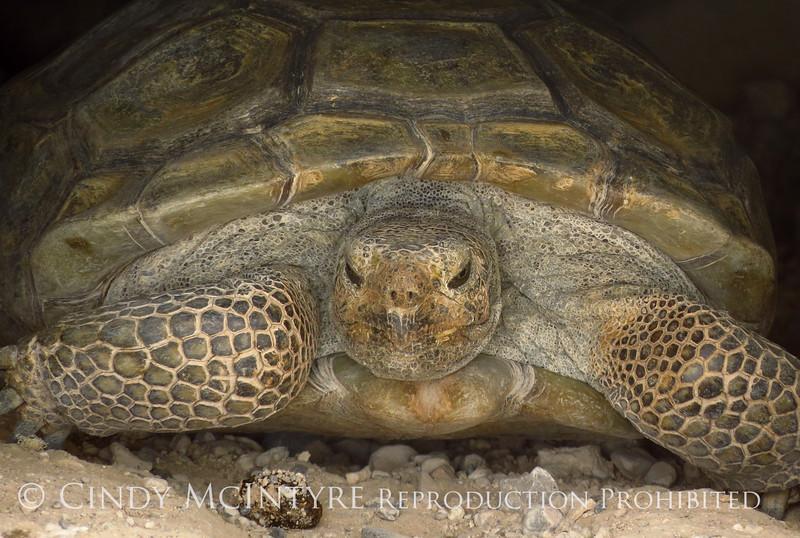 Desert Tortoise, Red Rock Canyon VC, NV (17)