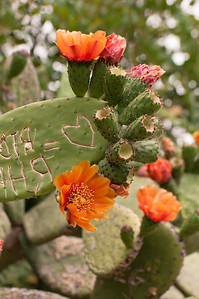 Cactus Graffiti on Blooming Cactus
