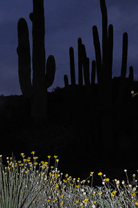 Flowers in the Desert Night