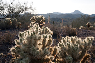 Light from the solar eclipse shining brightly on the desert cholla cactus in Arizona.