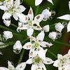 Chinese Leeks Flower