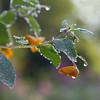 Jewelweeds Flower