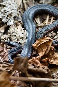 A deceased Red Bellied Black Snake (Pseudechis porphyriacus) - Birds, Nature & Flowers - North Maleny & Obi Obi Creek, Blackall Range, Sunshine Coast Hinterland, Queensland, Australia; Thursday 17 March 2011. Photos by Des Thureson.