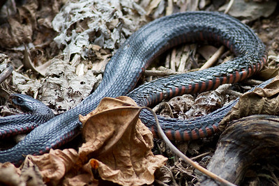 A deceased Red Bellied Black Snake (Pseudechis porphyriacus) - Birds, Nature & Flowers - North Maleny & Obi Obi Creek, Blackall Range, Sunshine Coast Hinterland, Queensland, Australia; Thursday 17 March 2011. Photos by Des Thureson.