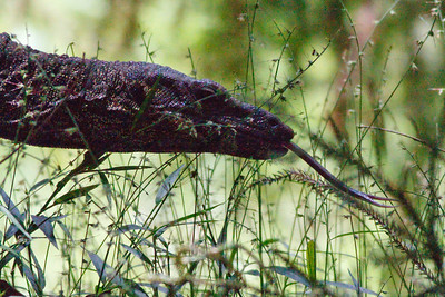Showing some tongue - Goanna / Lace Monitor (Varanus varius) - Birds, Nature & Flowers - North Maleny & Obi Obi Creek, Blackall Range, Sunshine Coast Hinterland, Queensland, Australia; Thursday 17 March 2011. Photos by Des Thureson.