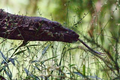 Showing some tongue - Goanna / Lace Monitor (Varanus varius) - Birds, Nature & Flowers - North Maleny & Obi Obi Creek, Blackall Range, Sunshine Coast Hinterland, Queensland, Australia; Thursday 17 March 2011. Photos by Des Thureson.