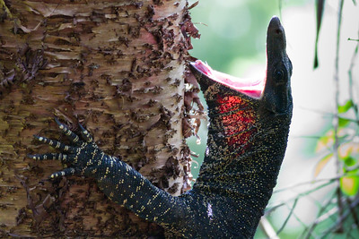 Goanna / Lace Monitor (Varanus varius) - Birds, Nature & Flowers - North Maleny & Obi Obi Creek, Blackall Range, Sunshine Coast Hinterland, Queensland, Australia; Thursday 17 March 2011. Photos by Des Thureson.