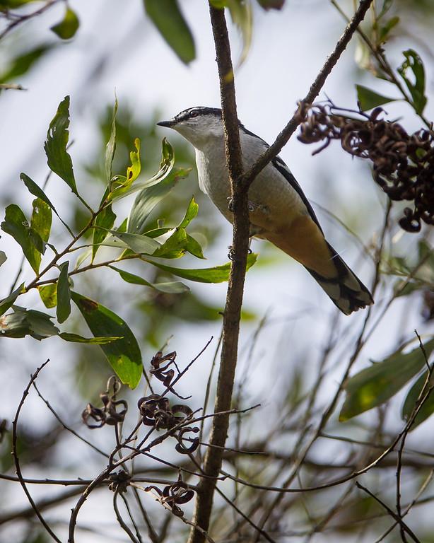 Dilkusha Nature Reserve - Birds & Flowers, Maleny, Sunshine Coast Hinterland, Queensland; 8 June 2013. Photos by Des Thureson