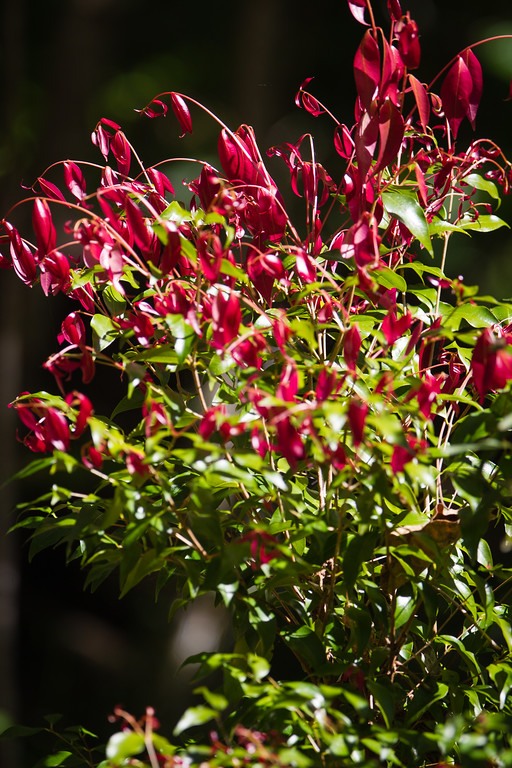 Dilkusha Nature Reserve - Birds & Flowers, Maleny, Sunshine Coast Hinterland, Queensland;10 August 2013. Photos by Des Thureson