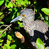 Yelllow-crowned Night-heron  -  juvenile